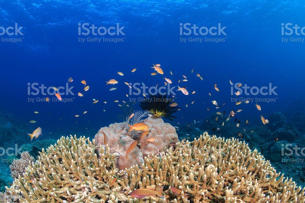 Anthias around a hard coral stock photo