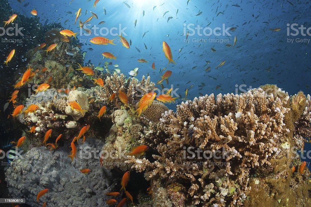 Anthias fish burst stock photo