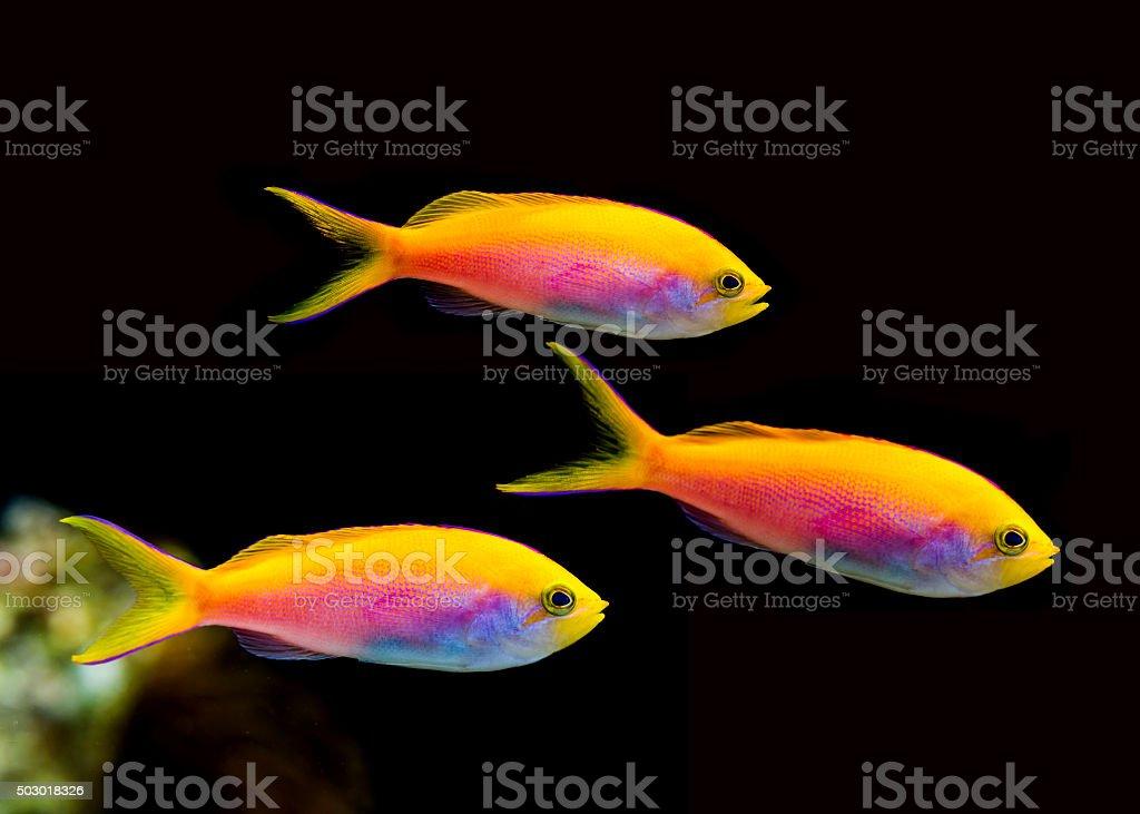 Anthias Fish stock photo