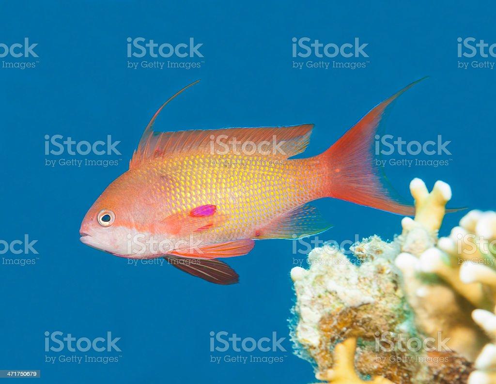 Anthias fish swimming in blue water royalty-free stock photo