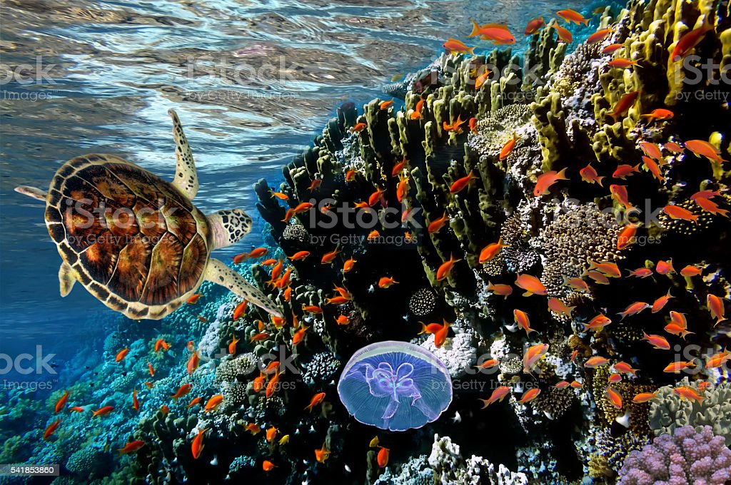 Anthias on the coral reef, wide angle shot stock photo