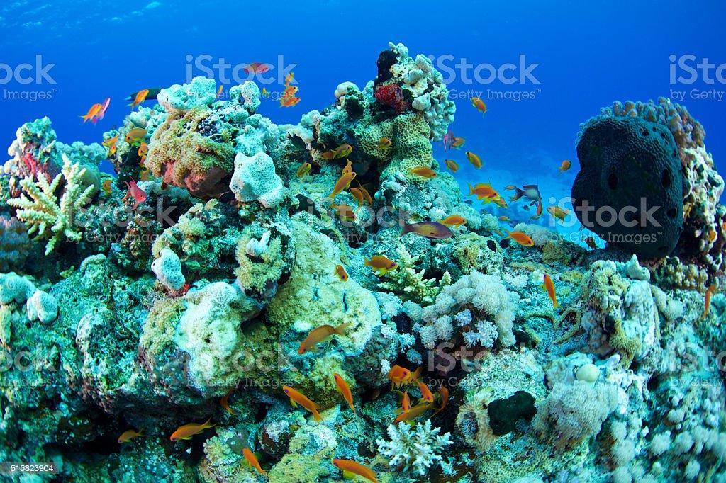 Anthias (Anthias anthias) stock photo
