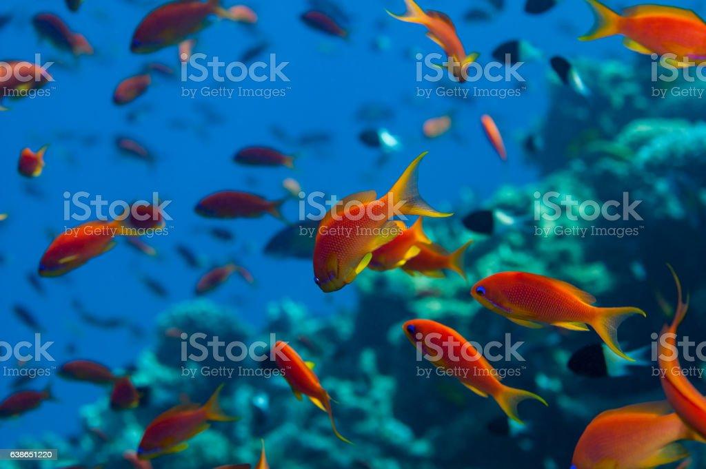 Anthias shoal stock photo