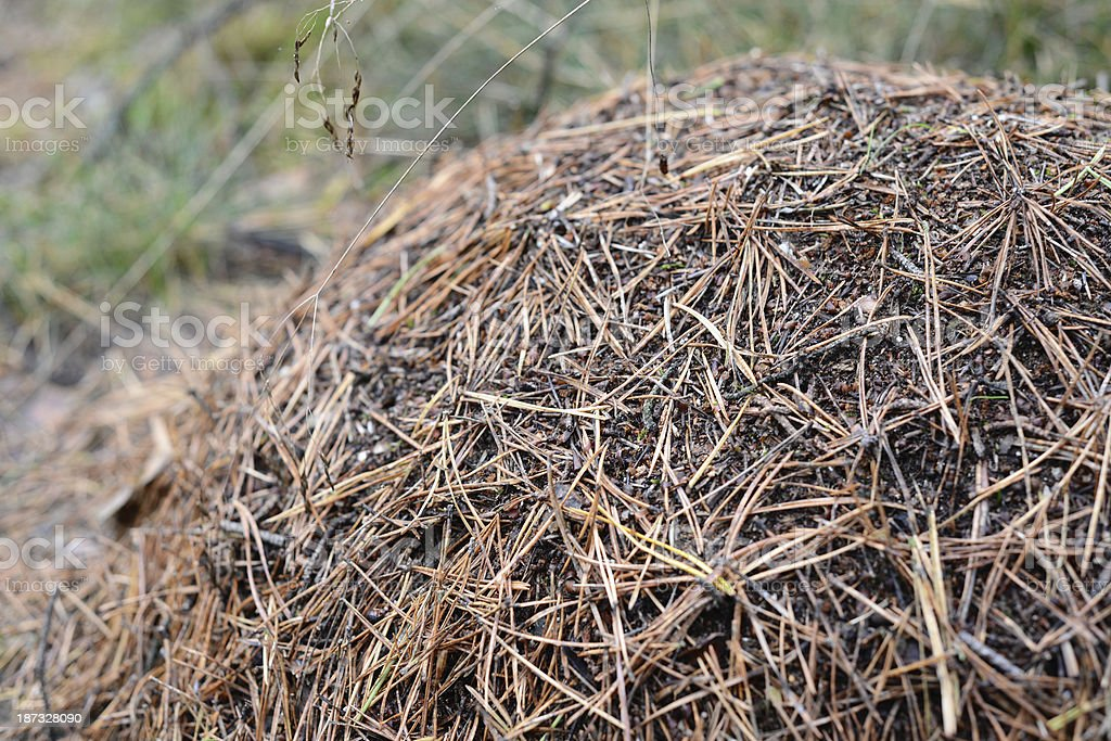 Anthill in forest royalty-free stock photo