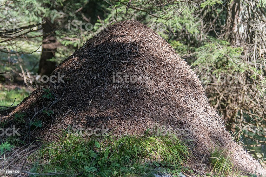 anthill in forest stock photo