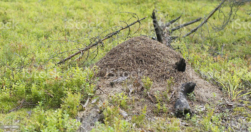 anthill in summer pine forest stock photo