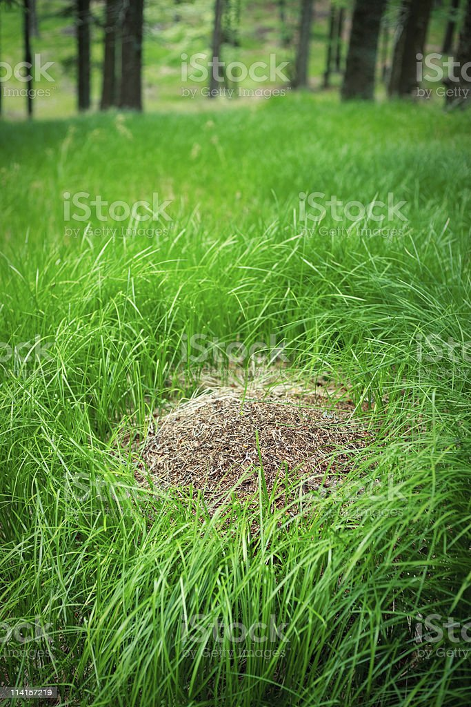 Anthill In The Forest royalty-free stock photo