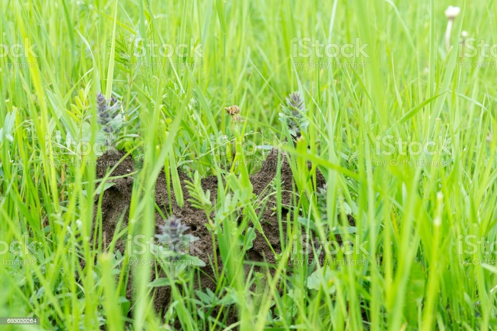 Anthill in the middle of the grass. stock photo