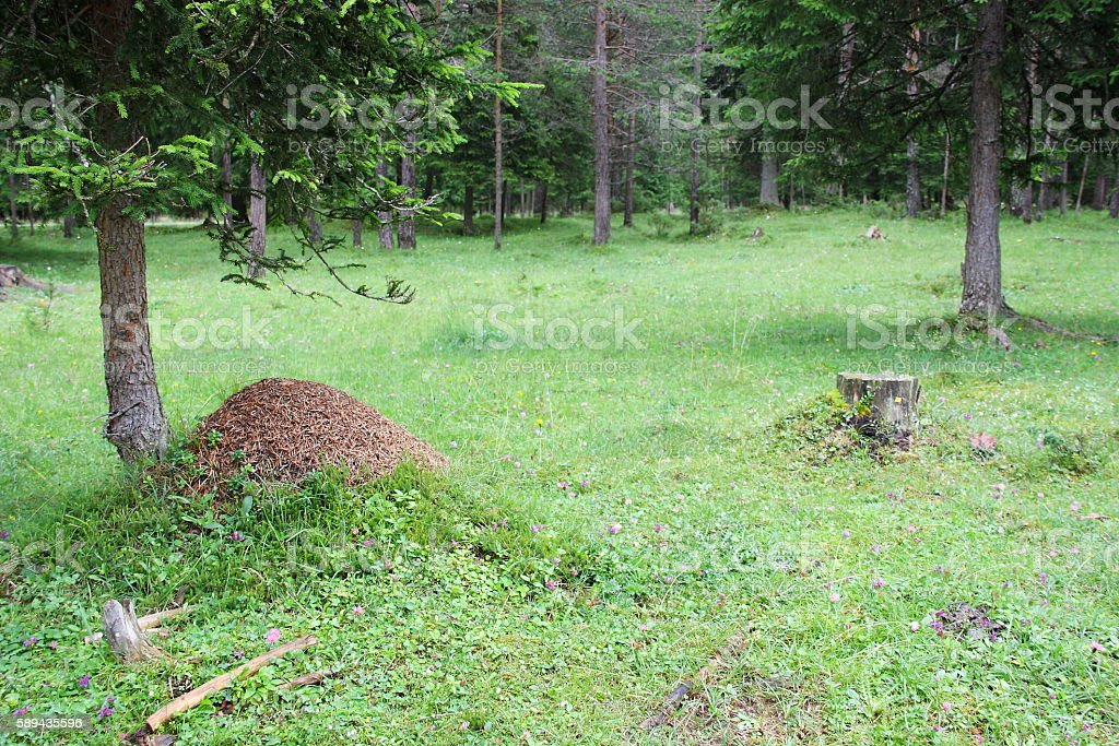 Anthill in the mountain forest (DOLOMITI) stock photo