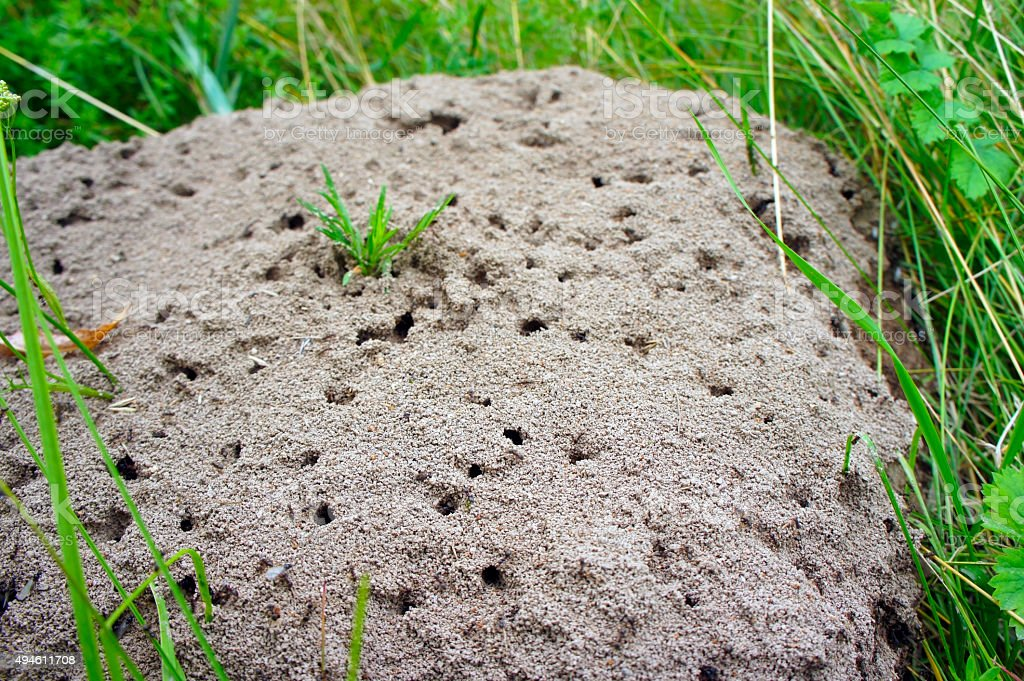 anthill in the woods close-up stock photo
