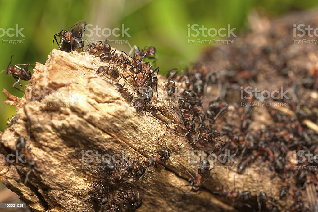 Anthill on a tree trunk royalty-free stock photo