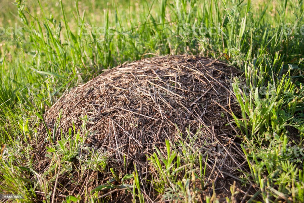 Anthill on the green grass close up stock photo
