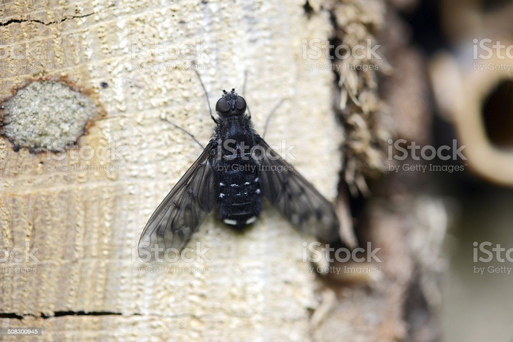 Anthrax fly stock photo