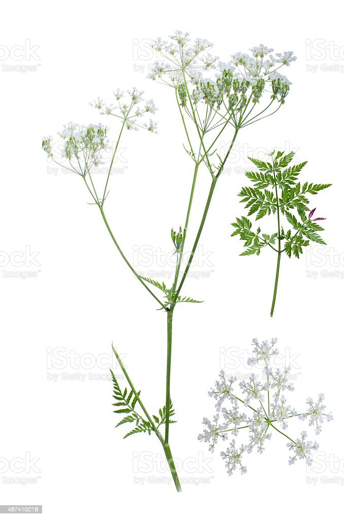 Anthriscus sylvestris stock photo