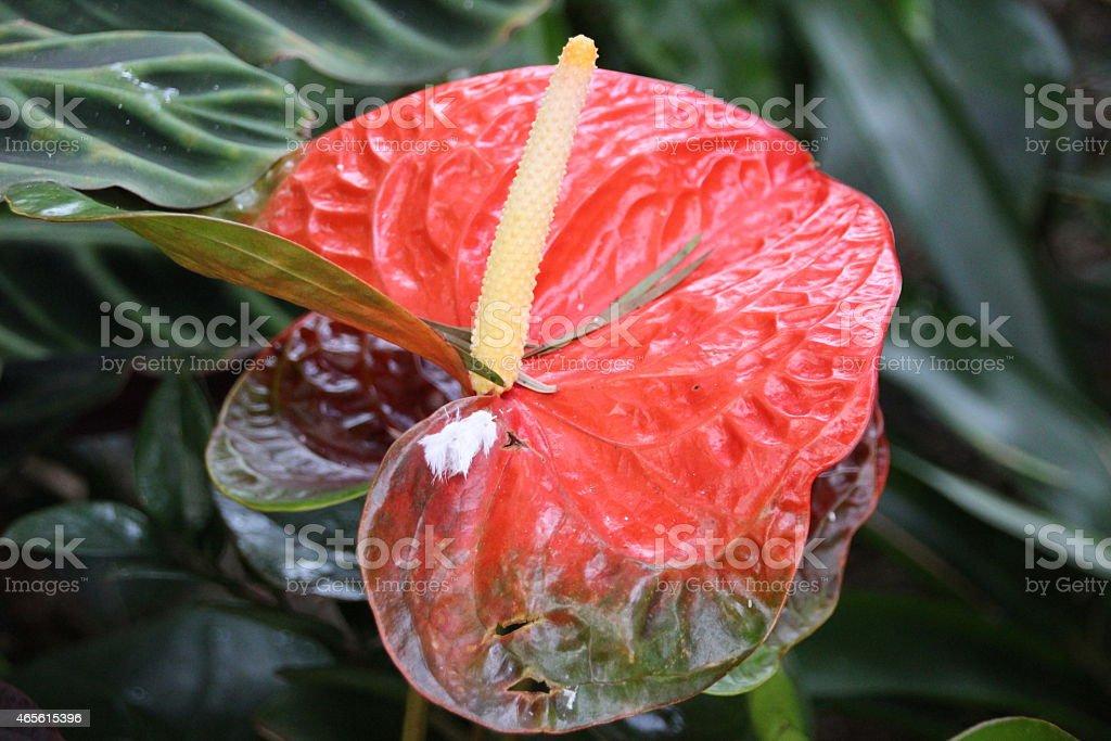 Anthurium - Flamingo Flower stock photo