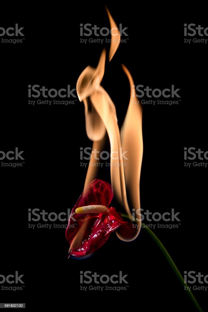 anthurium flower on fire stock photo