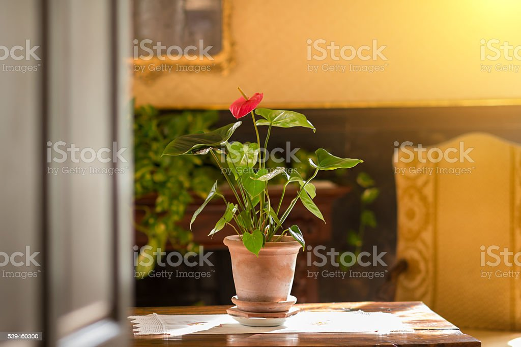 Anthurium flower pot on an old table in sunlight stock photo
