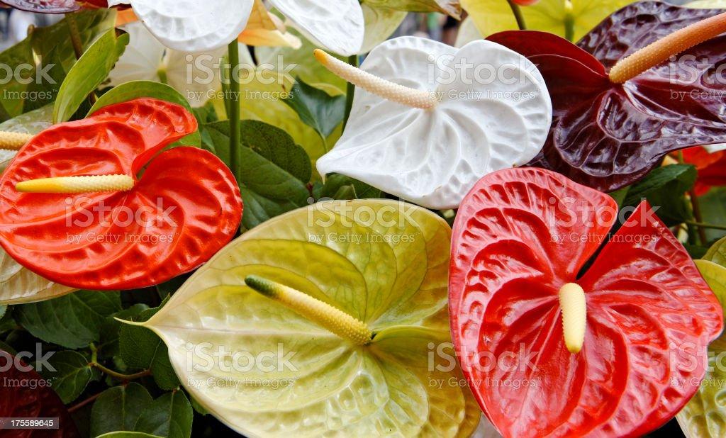 Anthurium flowers stock photo