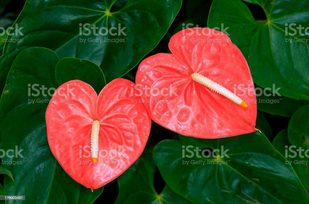 Anthurium hearts stock photo