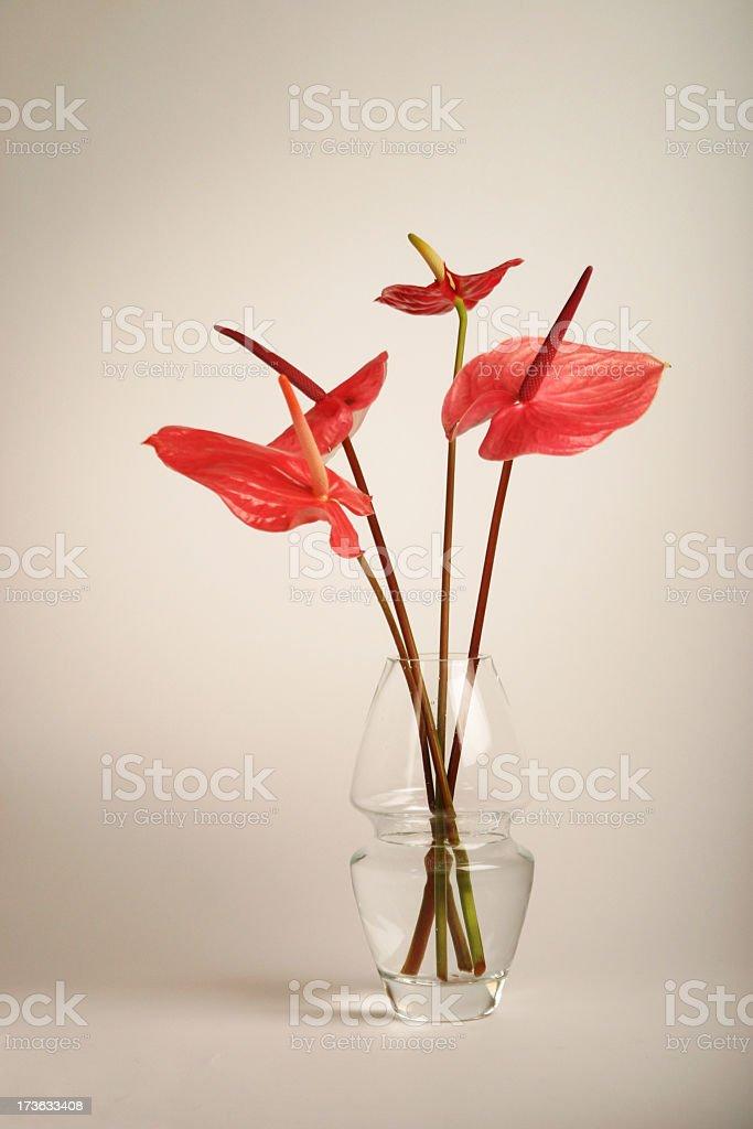 anthurium in a vase stock photo