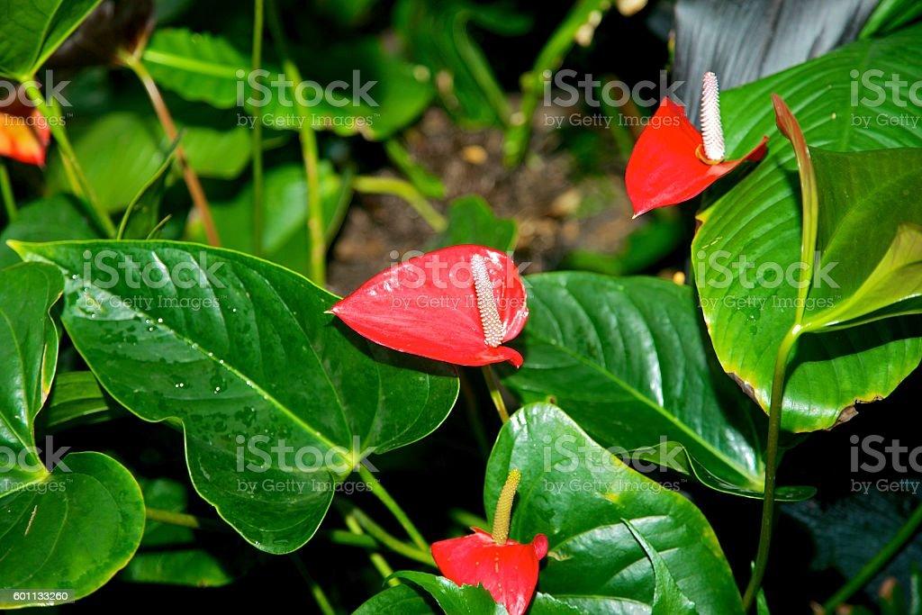 Anthurium stock photo