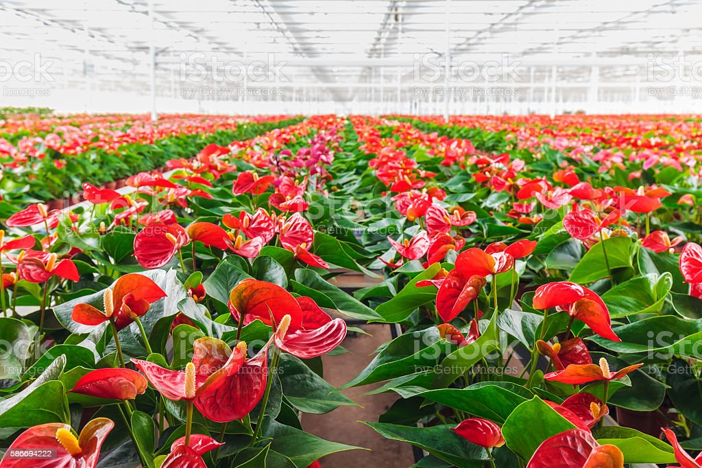 Anthurium plants in a greenhouse stock photo