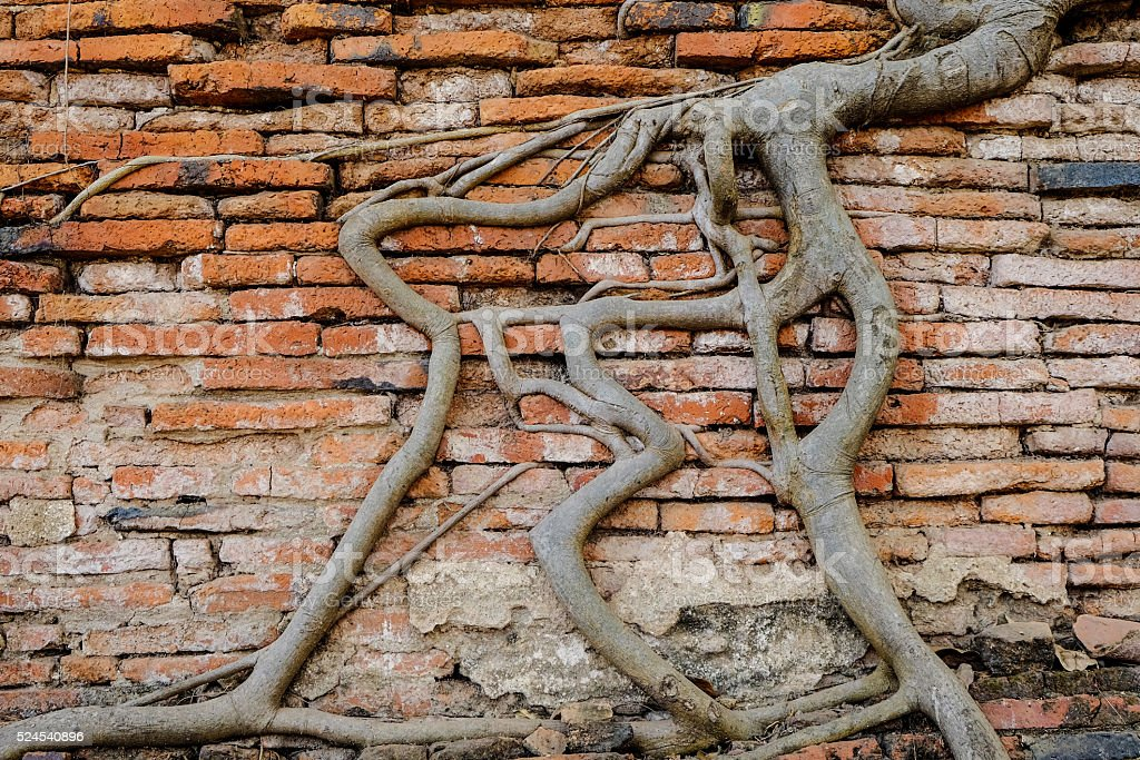Antiguo,Tree trunks climb on the red brick wall stock photo