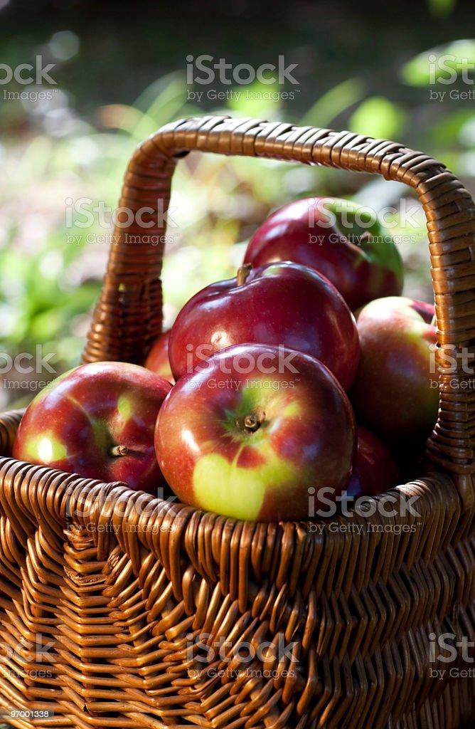 Antique Basket Full of McIntosh Apples stock photo