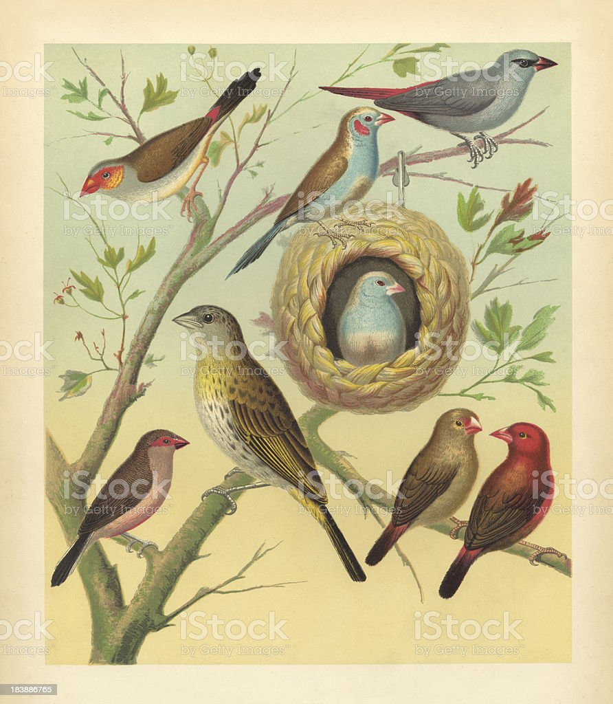 Antique Bird Print - Canaries and Finches stock photo