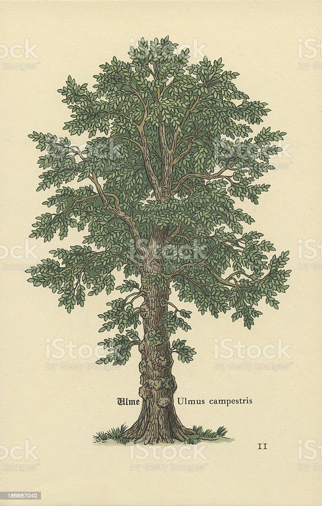 Antique Botanical Tree Print – Dutch Elm stock photo
