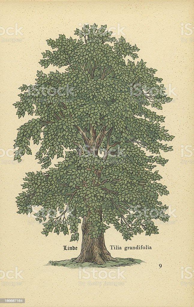 Antique Botanical Tree Print – Linden stock photo