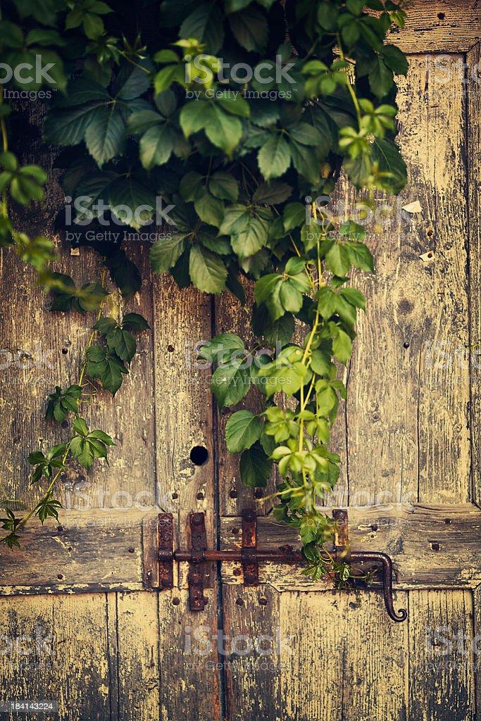 antique door and ivy plant stock photo