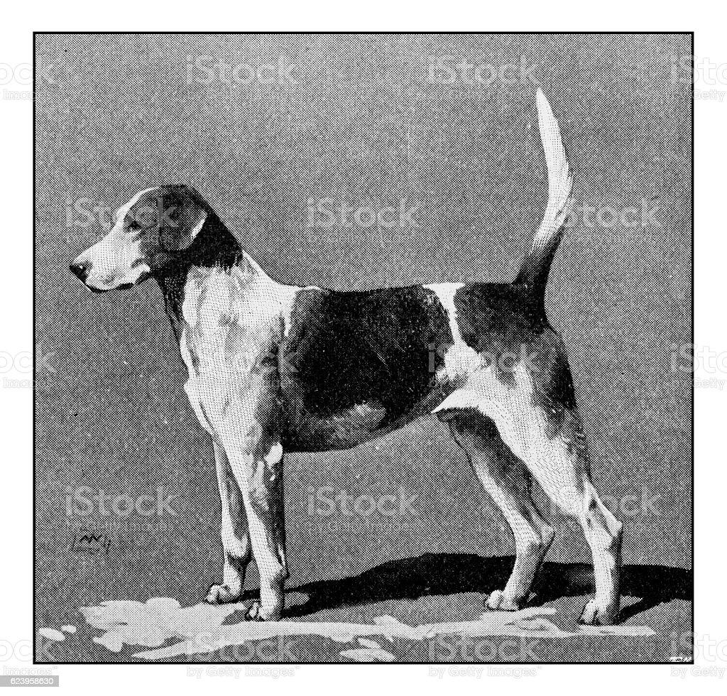 Antique dotprinted photograph of dog: Foxhound stock photo