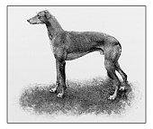 Antique dotprinted photograph of dog: Greyhound