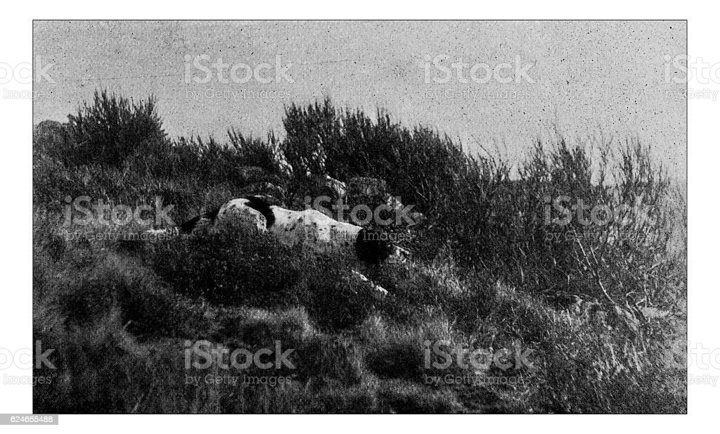 Antique dotprinted photograph of Hobbies and Sports: Setter dog hunting stock photo