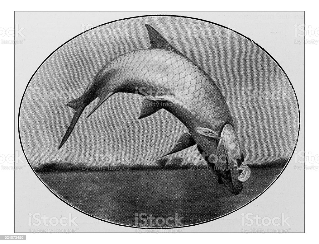 Antique dotprinted photograph of Hobbies and Sports: Tarpon fishing stock photo