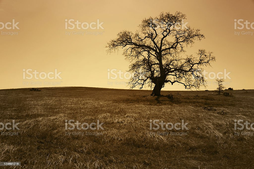 Antique Grunge Bare Oak Tree royalty-free stock photo
