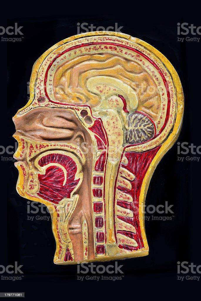 Antique human anatomy model royalty-free stock photo