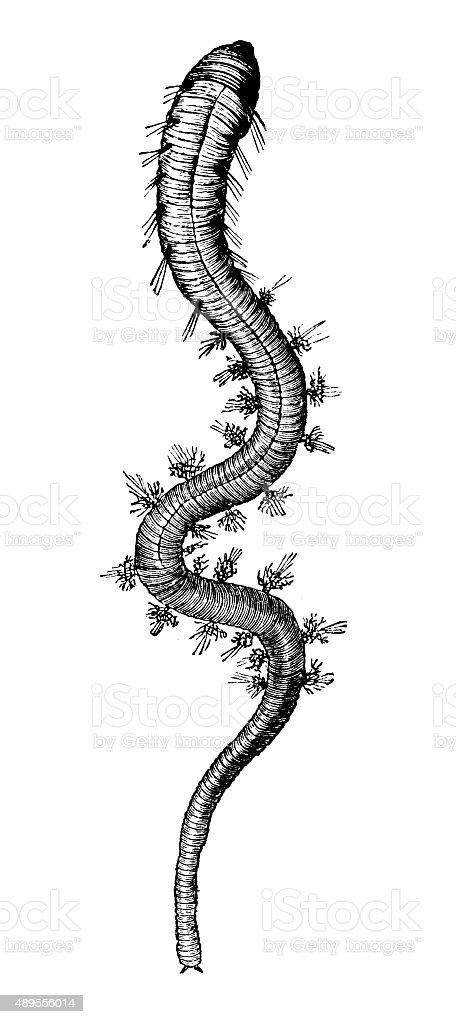 Antique illustration of lugworm or sandworm (Arenicola marina) stock photo