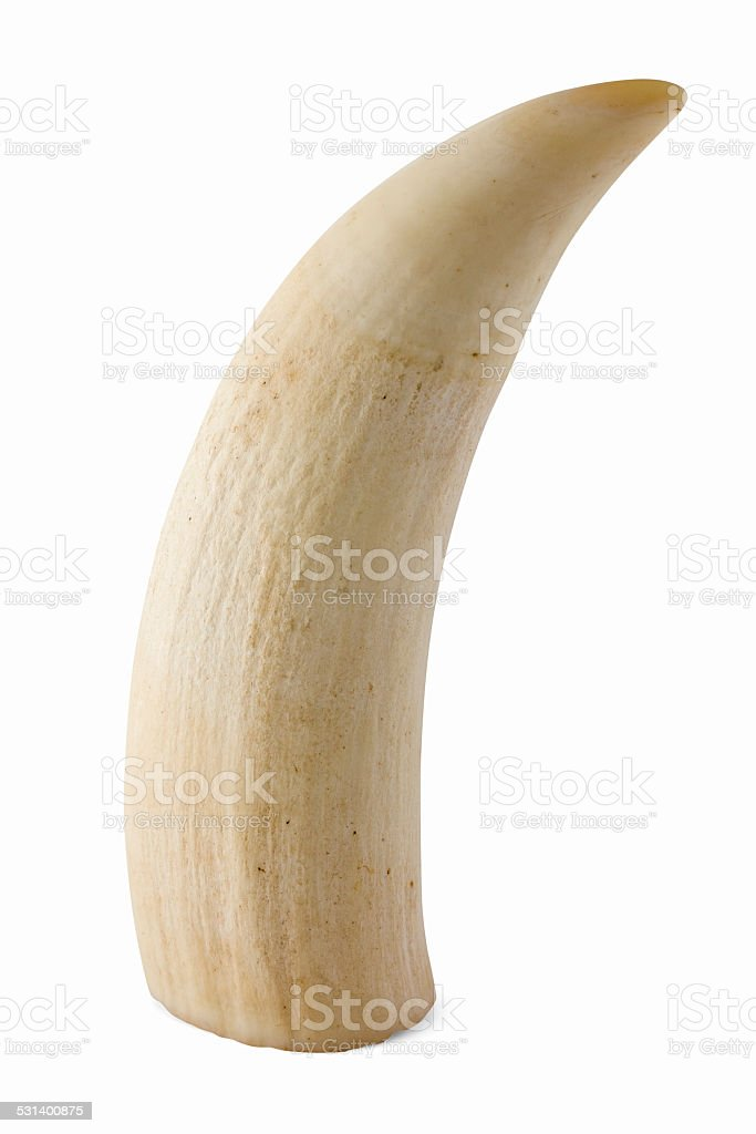 Antique ivory seal tooth on a white background stock photo