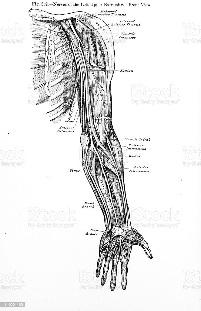 Antique Medical Illustration | Arm Muscles royalty-free stock photo