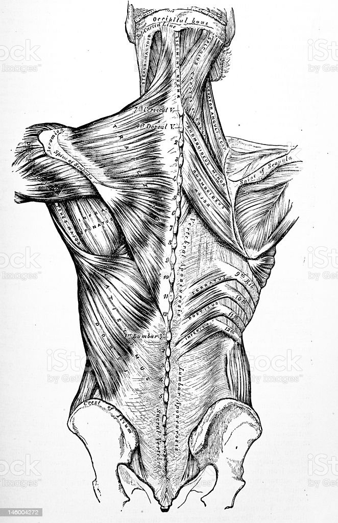 Antique Medical Illustration , Back Muscles and Bones stock photo