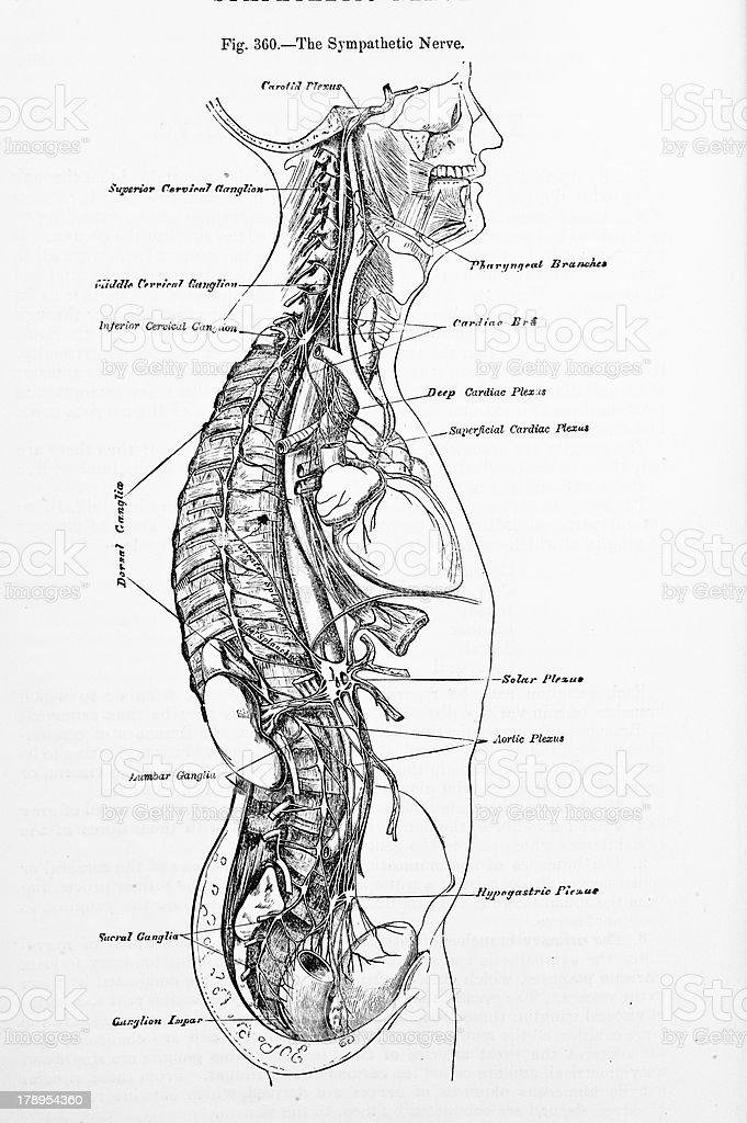 Antique Medical Illustration | Back Nerves royalty-free stock photo