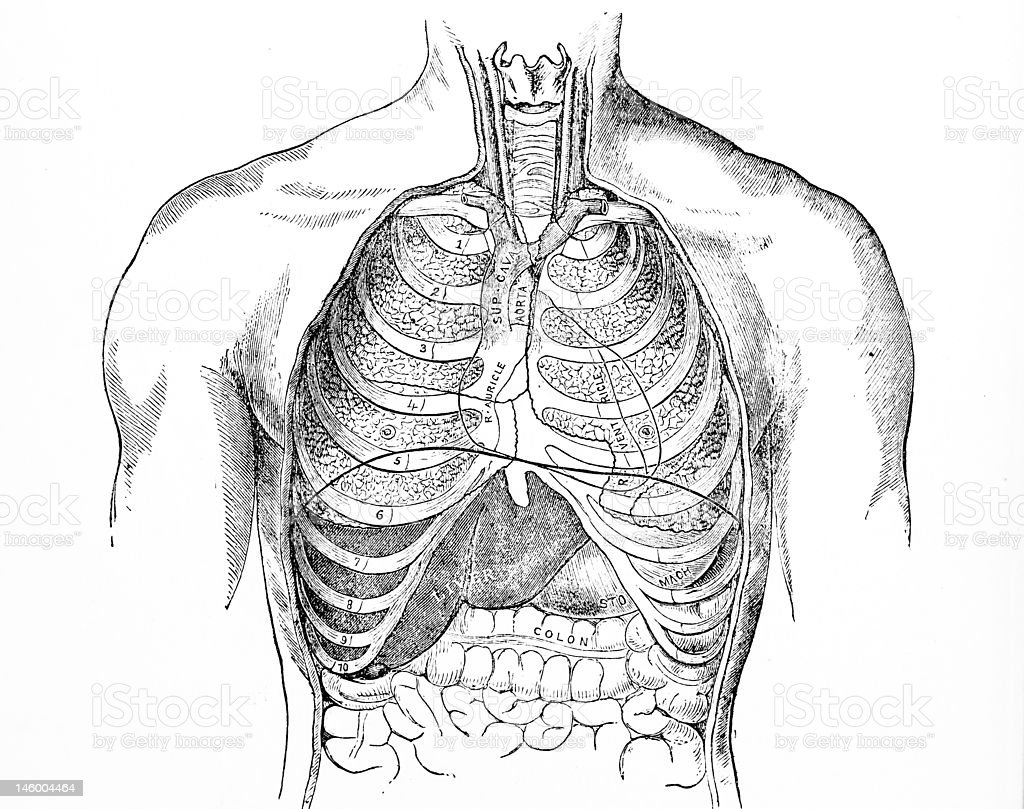Antique Medical Illustration   Human chest royalty-free stock photo