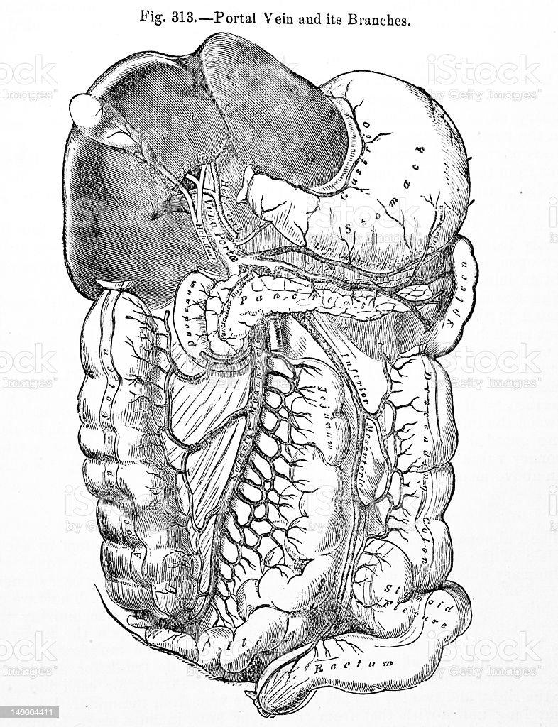Antique Medical Illustration   Human Digestive System royalty-free stock photo