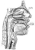Antique Medical Illustration | Human Face