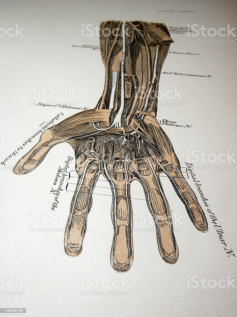 Antique medical illustration | Human hand stock photo