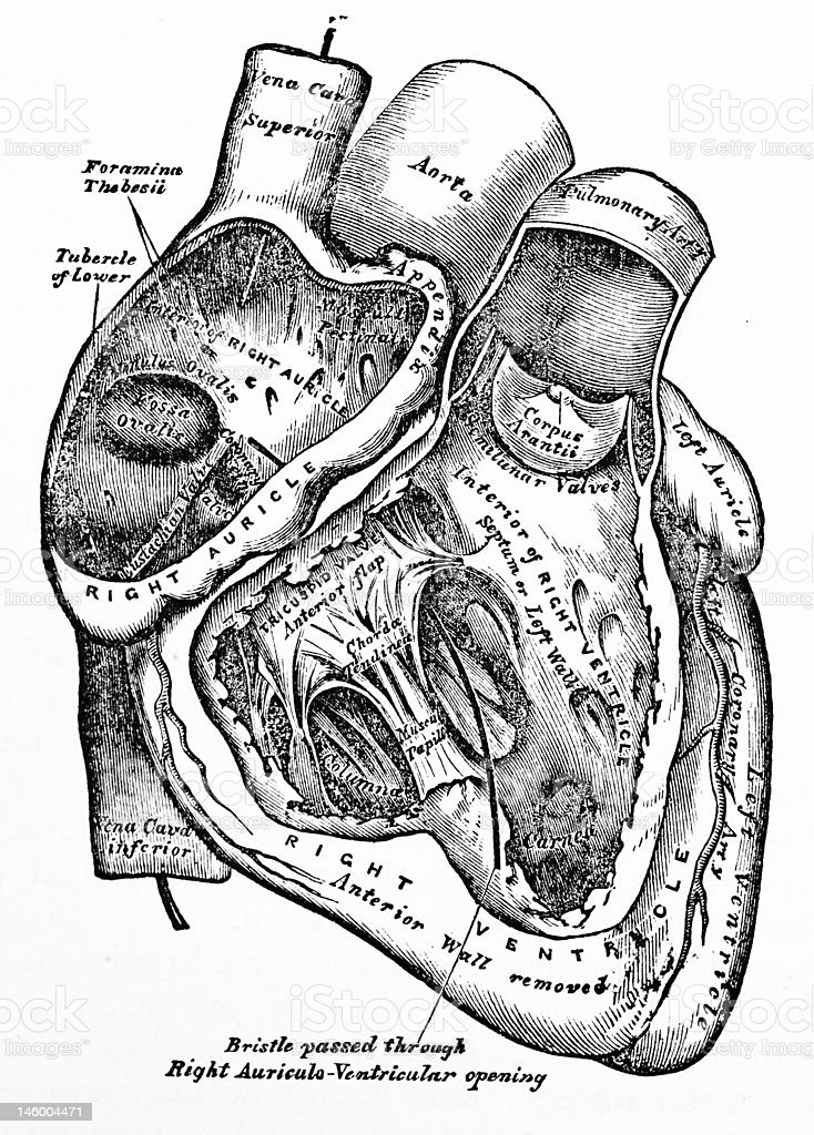 Antique Medical Illustration | Human heart stock photo