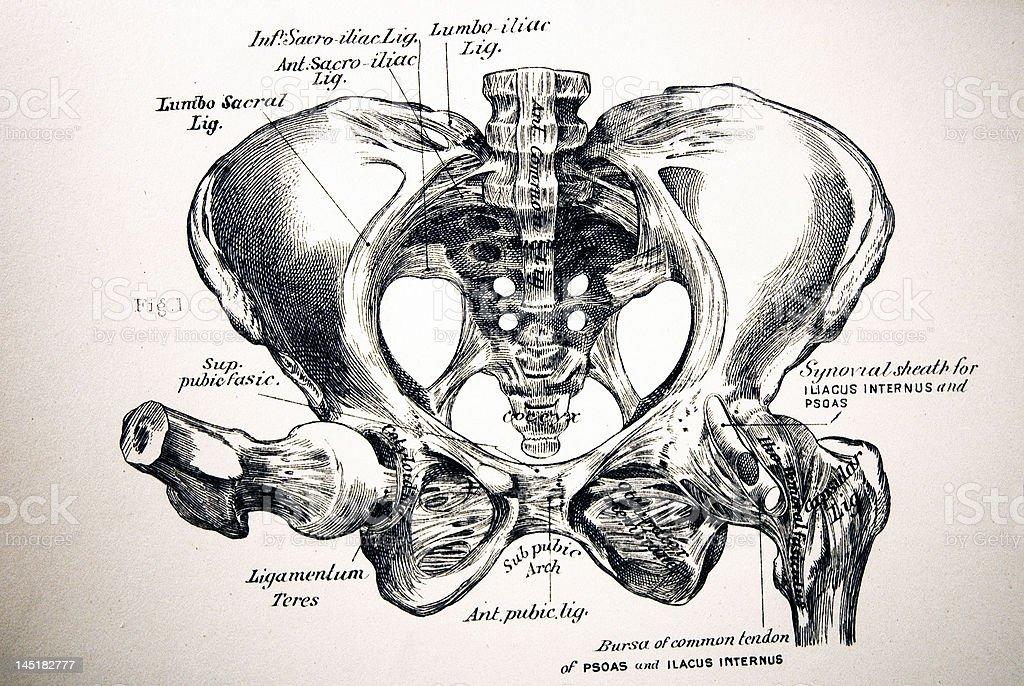 Antique Medical Illustration | Human pelvis royalty-free stock photo