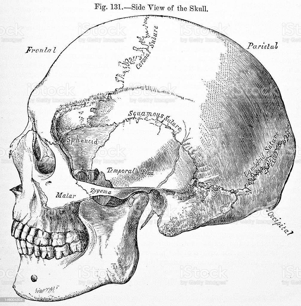 Antique Medical Illustration | Human skull stock photo